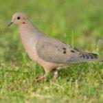 Kentucky- Positive Outlook for Upcoming Dove Season
