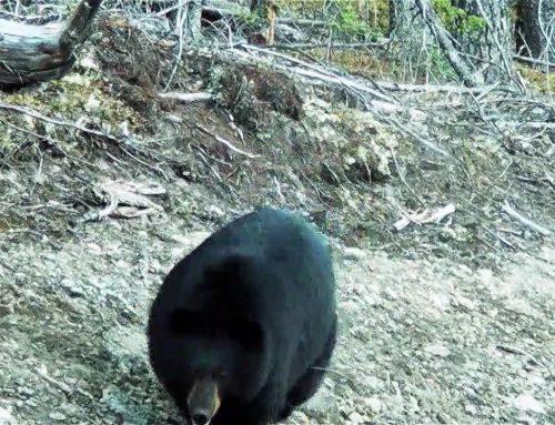 THE BEAR WHISPERER/ NATURE PRODUCTIONS-SEASON 1 EPISODE 7- HATERAID ANYONE?